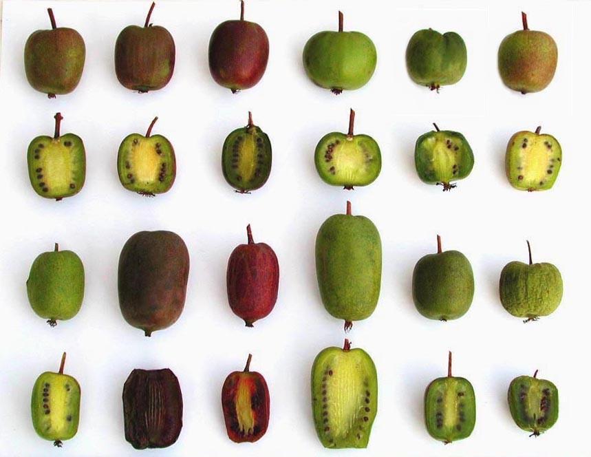 El kiwiño es una nueva fruta rica y dulce