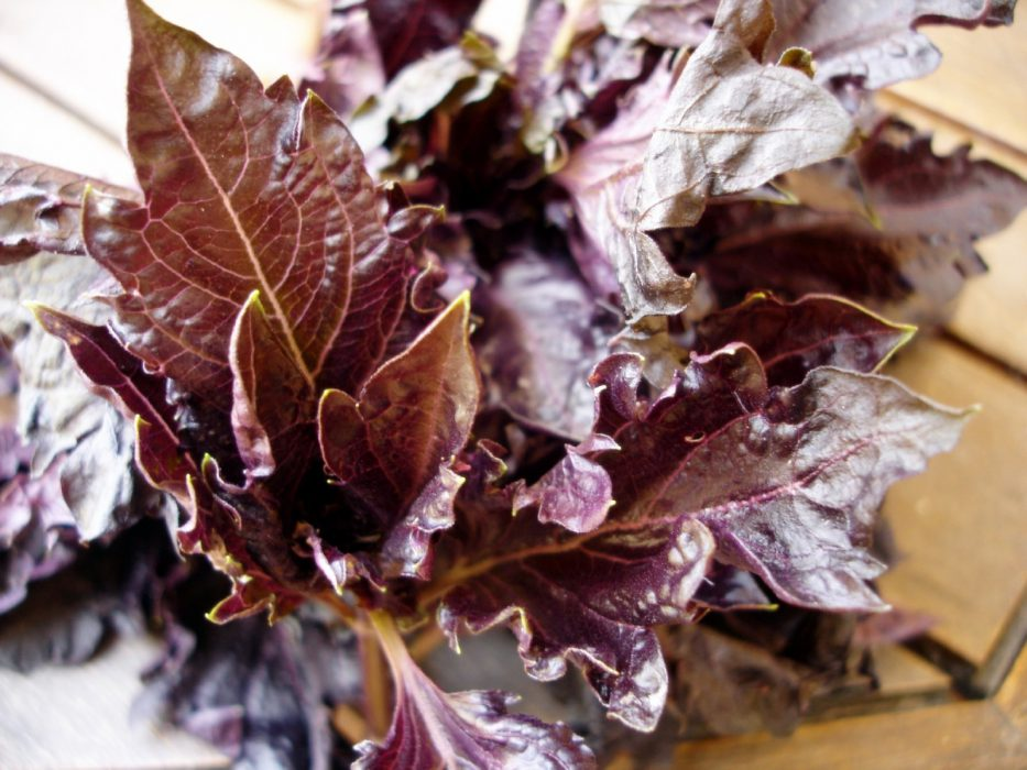 Albahaca púrpura o morada 1