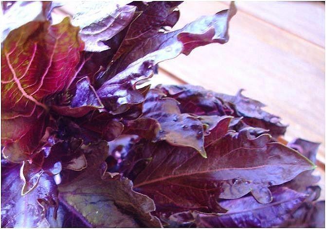 Albahaca púrpura o morada 3