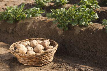 Amflora es una patata manipulada genéticamente