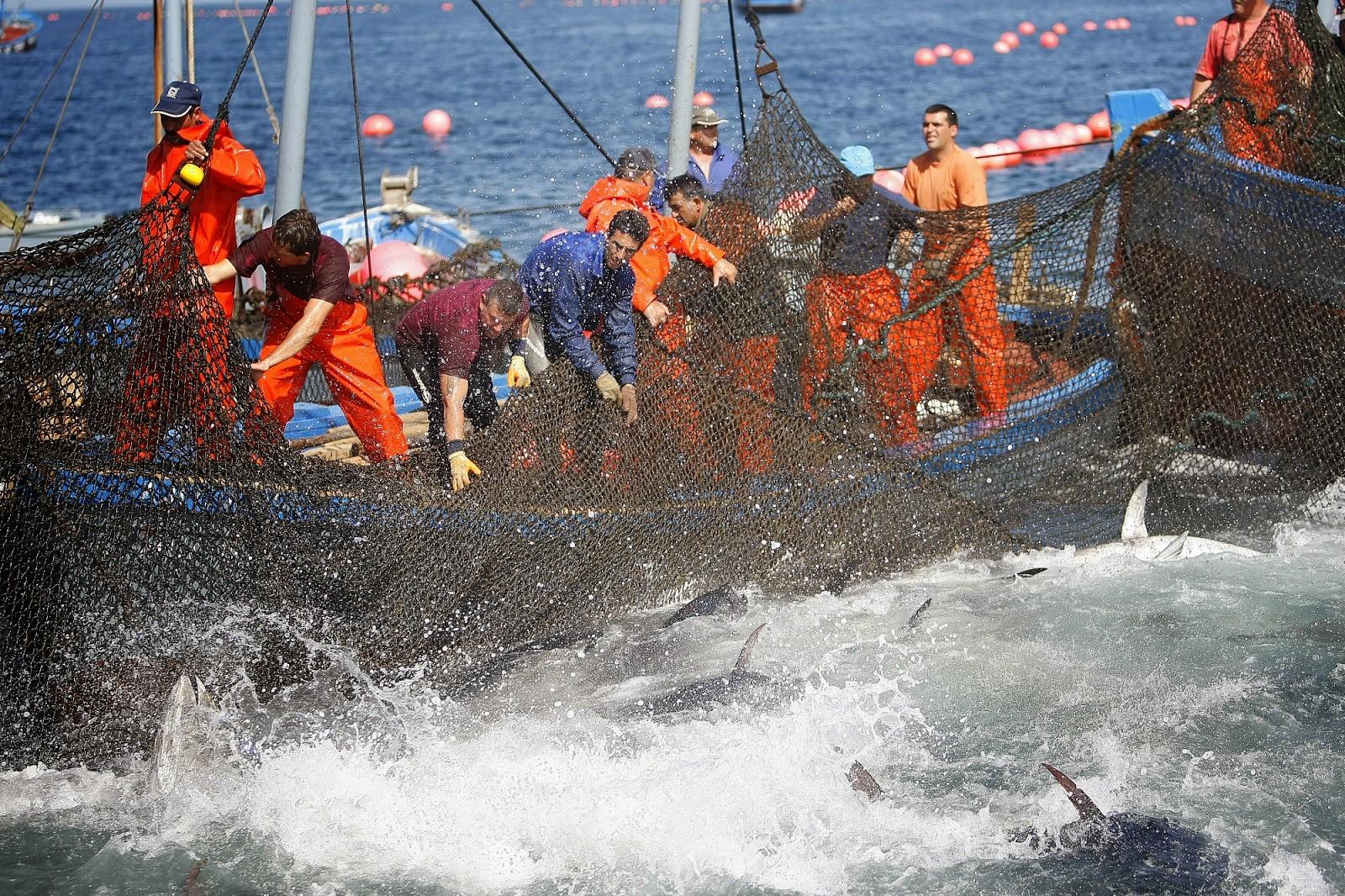 La almadraba de Barbate, pesca de atún