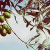 Aceitunas en el olivo