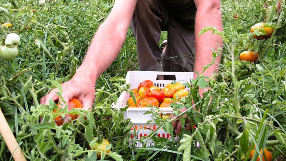 Tomate argal bonatur
