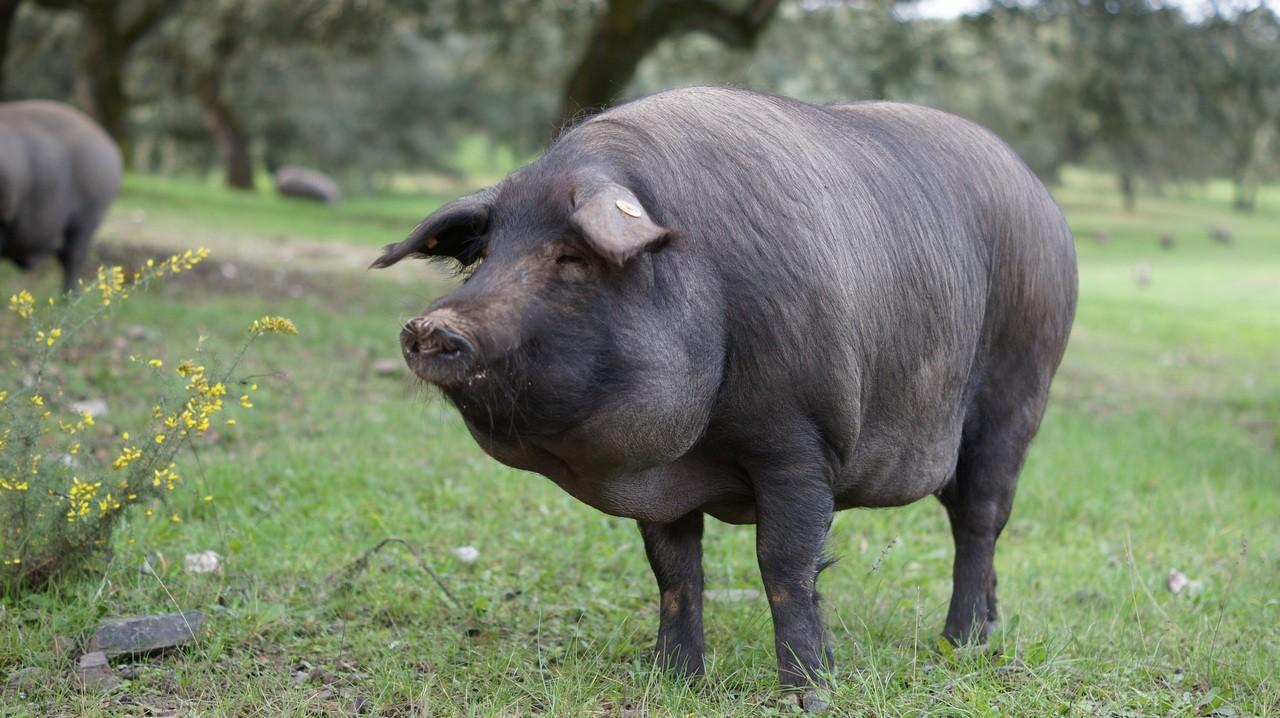 Cerdo 100% Ibérico en la Montanera