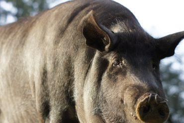 Cerdo 100% Ibérico