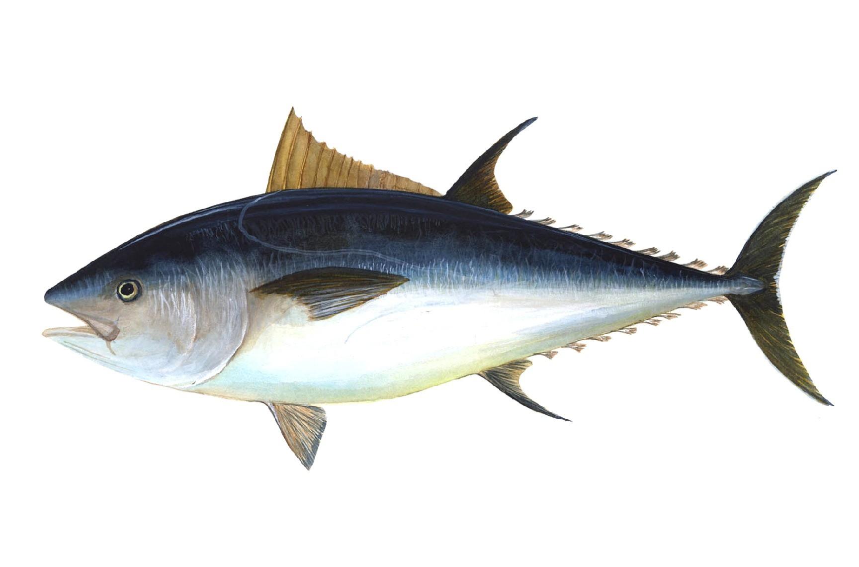 El atún rojo, el pescado azul más codiciado y deseado