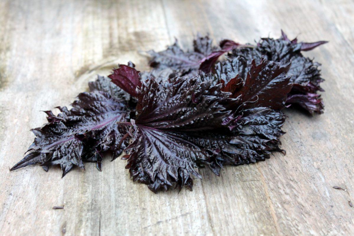 Shiso Púrpura, una planta aromática