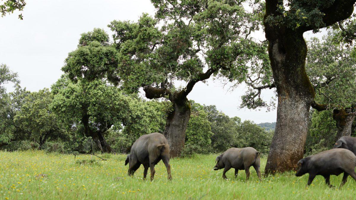 Cerdos Ibericos en la Dehesa de Extremadura